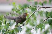 Blackbird in nature — Stock Photo