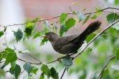 Blackbird on branch — Stock Photo