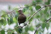 Blackbird standing on branch — Stock Photo