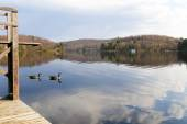 Canadian Geese by the dock — Stock Photo