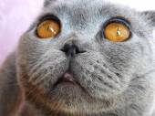 Scottish fold gatto animale closeup — Foto Stock