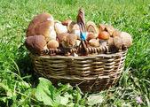 Cogumelos frescos floresta na cesta — Fotografia Stock