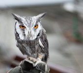Southern white faced owl — Stock Photo