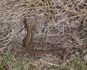 Wild common lizard at holyhead — Stock Photo