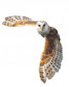Barn Owl In Flight — Stock Photo