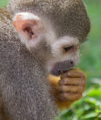 Squirrel Monkey  — Photo