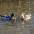 Ducks in Love — Stock Photo #60142221
