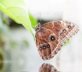 Butterfly with wings closed — Stock Photo