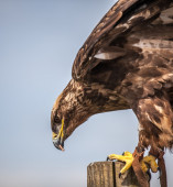 Close up of  Russian Steppe Eagle — Stock Photo