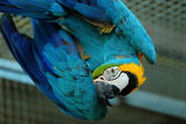 Macaw beautiful bird — Stock Photo