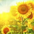 Sunflowers blooming on the field. — Stock Photo #61540745