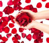 Růží v ženských rukou — Stock fotografie