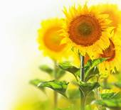 Sunflowers blooming on the field. Growing sunflower — Stock Photo
