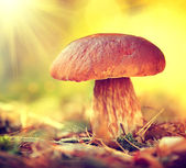 Cep mushroom growing in  forest. — Stock Photo