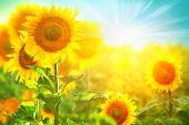 Blooming sunflowers border — Stock Photo