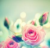 Beautiful pink roses. — Stock Photo