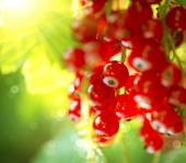 Organic red currant berries — Stock Photo