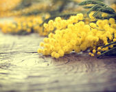 Mimosa spring flowers — Stock Photo