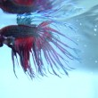 Colorful Betta Fish in Aquarium. — Stockvideo #74717417
