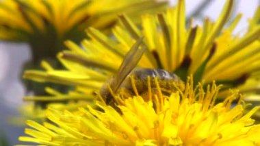 Honey bee on dandelion flower — Stock Video