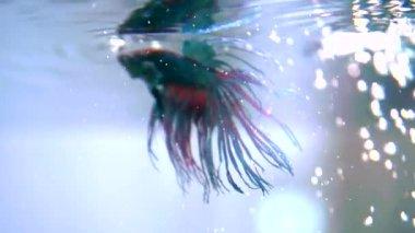Colorful Betta Fish in Aquarium. — Vídeo de Stock