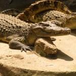 Crocodile basking in the ground — Stock Photo #65979195