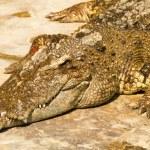Crocodile basking in the ground — Stock Photo #65979503