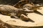 Crocodile basking in the ground — Stock Photo