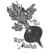 Ripe radish on a white background. sketch — Stock Photo