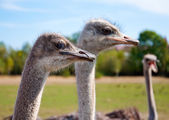 Ostriches turned their heads to one side — Stock Photo