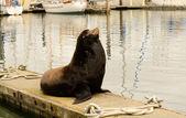 морской лев — Стоковое фото