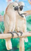 Two Cockatoos Catching On Perch. — Stock Photo