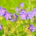 Geranium pratense flowers — Stock Photo #62631381