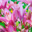 Pink lily (Lilium) flower — Stock Photo #64394197