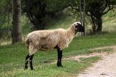 Овцы на пастбище — Стоковое фото