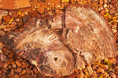 Petrified Wood — Stock Photo