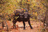 Cape Buffalo (Syncerus caffer) — Stock Photo