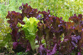 Bed of green and purple lettuce — Stock Photo
