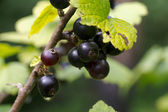Berries of a black currant on branch — Stock Photo