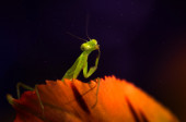 Mantis-the dreamer and the stars — Stock Photo