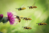 A swarm of wasps flies to the flower of a Thistle — Stock Photo