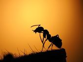 Ant at sunset. Portrait of an ant — Stock Photo