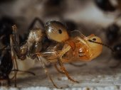 An ant carrying a large doll. Portrait. Messor structor — Stock Photo