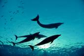 Four dolphins underwater — Stock Photo