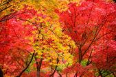 View to Momiji  in autumn season — Stock Photo