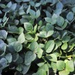 Green soya leaves and bushes — Stock Photo #53976033