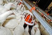 White chicken on a farm — Stock Photo