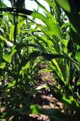 Corn field with young corn — Stock Photo