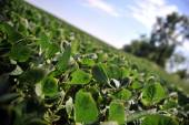 Green soy plant leaves — Foto de Stock