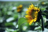 Flower sunflower field — Foto Stock